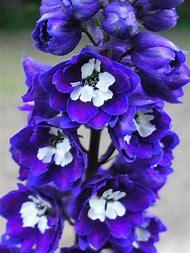 Dark Blue Delphinium White Bee