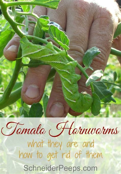 how do i get rid of tomato worms in the garden tomato hornworms or tobacco hornworms