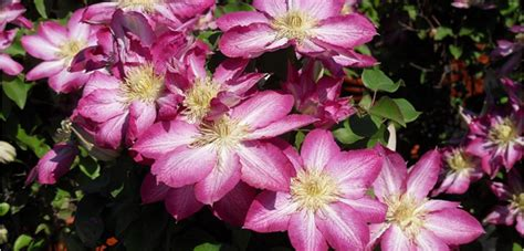 clematis costa farms