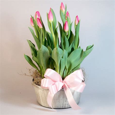 related keywords suggestions for tulip plant