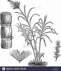 Sugar Cane, vintage engraved illustration. Trousset ...