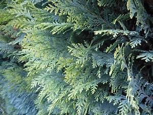 Thuja Hecke Düngen : thuja ber die pflege der lebensbaum hecke ~ Lizthompson.info Haus und Dekorationen