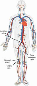 About Vascular Tissue - Donating Veins And Arteries