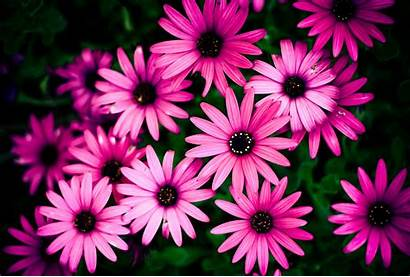 Daisy Pink Background Flower Backgrounds Awesome Resolution
