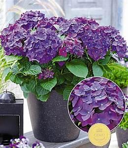 Hydrangea Macrophylla Winterhart : freiland hortensie 39 deep purple 39 hortensien bei baldur ~ Michelbontemps.com Haus und Dekorationen