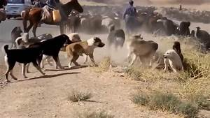 Central Asian Shepherd Dog Fight In The Wild - YouTube