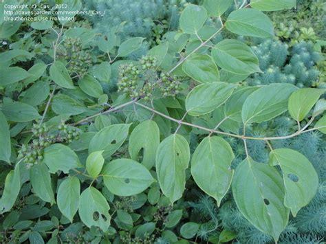 poison sumac plant identification closed poison sumac 2 by cas