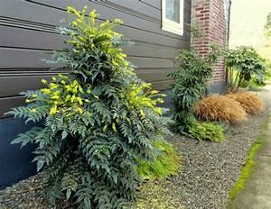 Wann Heidelbeeren Pflanzen : immergr ne pflanzen garten gestalten mahonie pflanzen pinterest immergr n garten ~ Orissabook.com Haus und Dekorationen