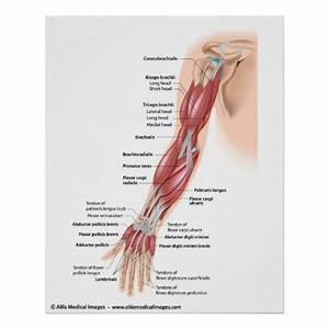 Muscles Of The Whole Arm  Labelled Drawing