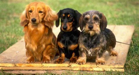 breed deets dachshund  pros  cons