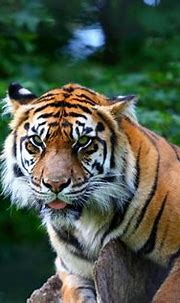 Sumatran Tiger | This tiger always seems to have half a ...