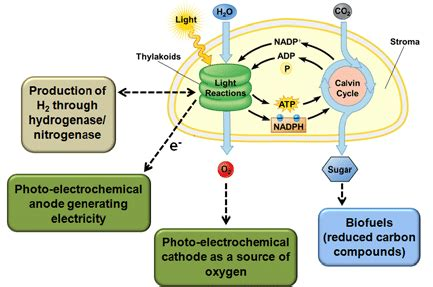Where In The Chloroplast Do The Light Reactions Occur by Chloroplast Showing Light Reaction In Thylakoid And