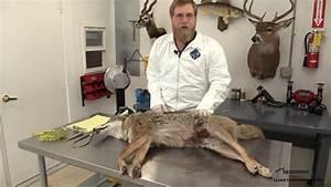 Mounting A Lifesize Coyote  U2013 Taxidermy Insider