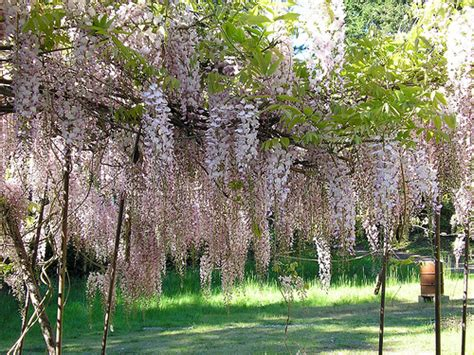 wisteria roots near house how to grow wisteria garden guides