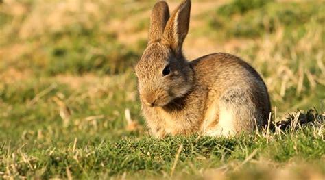 recettes cuisine corse le lapin de garenne