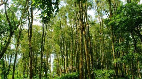 bukit lintang sewu wisata  bantul  hutan kayu