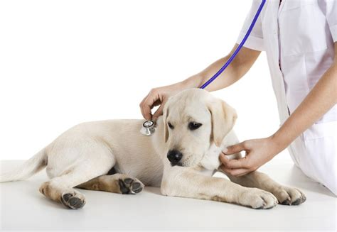 Chiot Et Vétérinaire  Vaccination, Tatouage  Acheter Mon