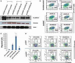 Effects of siRNA-mediated knockdown of IRF5 and LMCD1 on ...