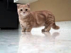 legged cats legged cat breeds cats types
