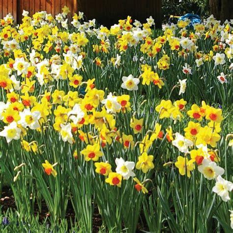 naturalizing mixed daffodils bushel with basket