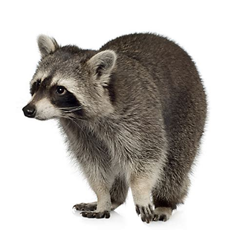raccoon damage facts about raccoons raccoon facts havahart