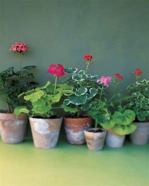 best 20 geraniums ideas on