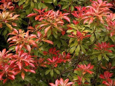 arbusti da fiore sempreverdi sempreverdi da giardino piante da giardino sempreverdi