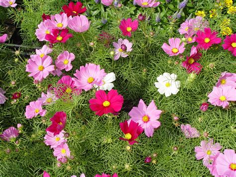 cosmos flower in my garden cosmos dance in your garden