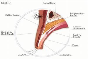 Anatomy Of The Eyelid  Illustration By Jennifer Thomson Ph