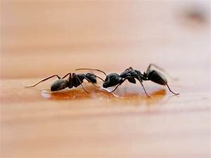 Small Black Ant Diagram