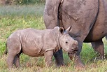 Fascinating rhino facts for kids   National Geographic Kids