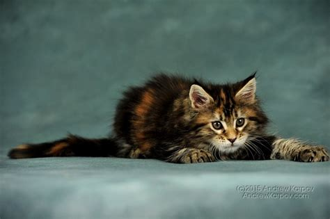 maine coon chats de papier peint maine coon beau fond d 233 cran pour 7315341