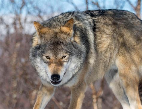Shadow of chernobyl and s.t.a.l.k.e.r.: Chernobyl wolves infected with radiation feared to be ...