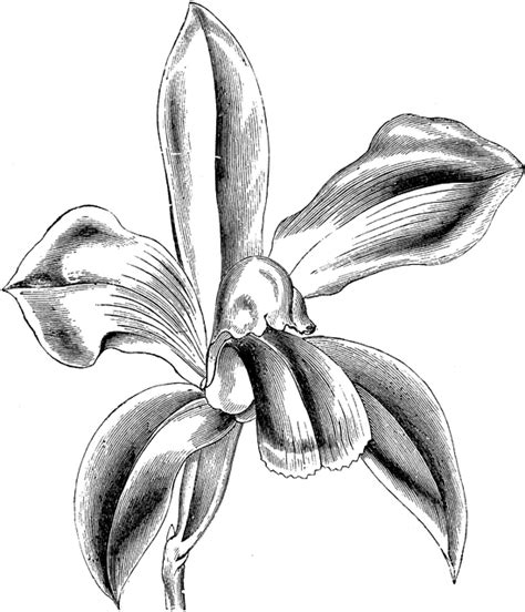 how to draw a cattleya flower flower of cattleya bicolor clipart etc