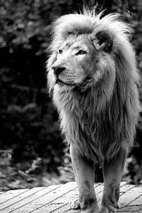 lion of judah on Tumblr