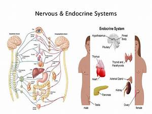 Endocrine System Diagram For Kids