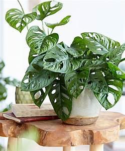Pflanzen Zu Hause : monstera 39 monkey mask 39 zu hause pinterest pflanzen garten und zimmerpflanzen ~ Markanthonyermac.com Haus und Dekorationen