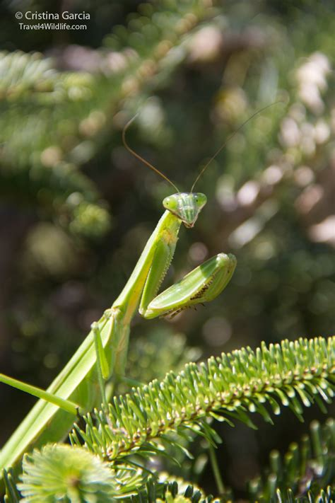 our new neighbor the mantis travel 4 wildlife
