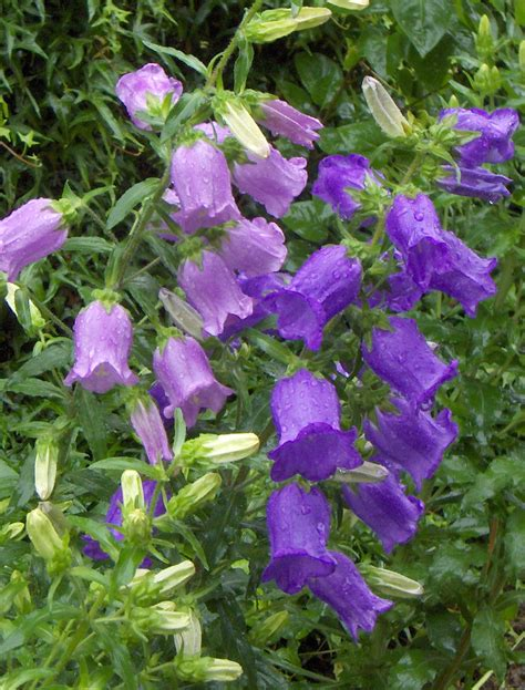 bell flowers busy bee bell flowers