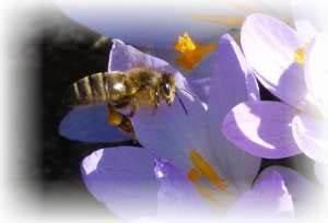 Welche Blumen Für Bienen : pflanzen bienen ~ Eleganceandgraceweddings.com Haus und Dekorationen