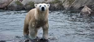 polar bear louisville zoo