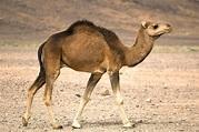 Camel | San Diego Zoo Animals & Plants