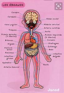 17 Best ideas about Organos Del Cuerpo Humano on Pinterest