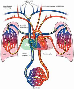 Diagram Of Bloodflow To The Heart  Lungs And Body