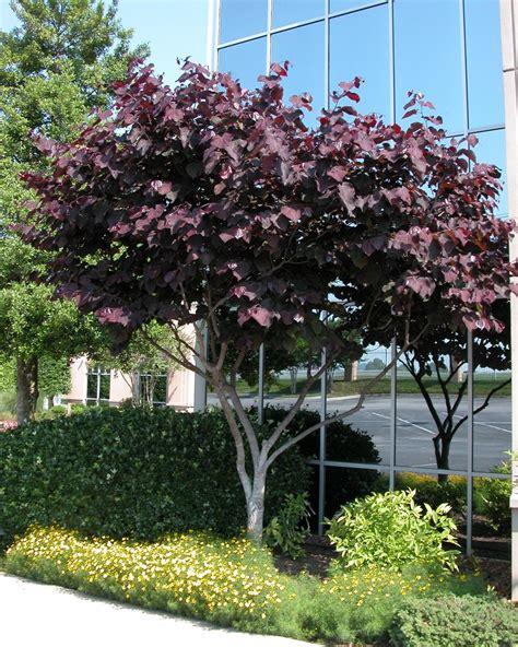 japanese redbud tree photos redbud eastern hgtv