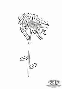 Aster Flower Drawing – savingourboys.info