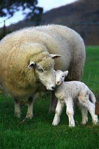 Mother and Baby Lamb Sheep