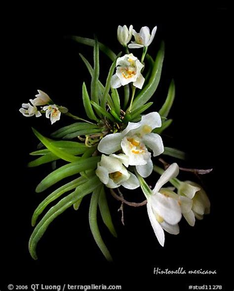 picturephoto hintonella mexicana  species orchid