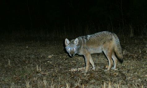 are coyotes color blind rurality more