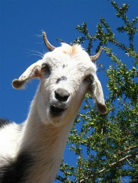 bad ass goats  trees salt artists